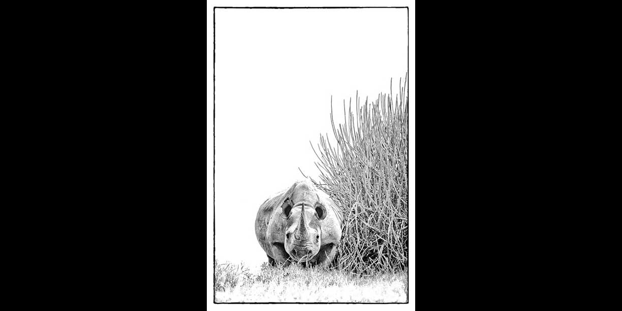 B&W print of a desert rhino and euphorbia