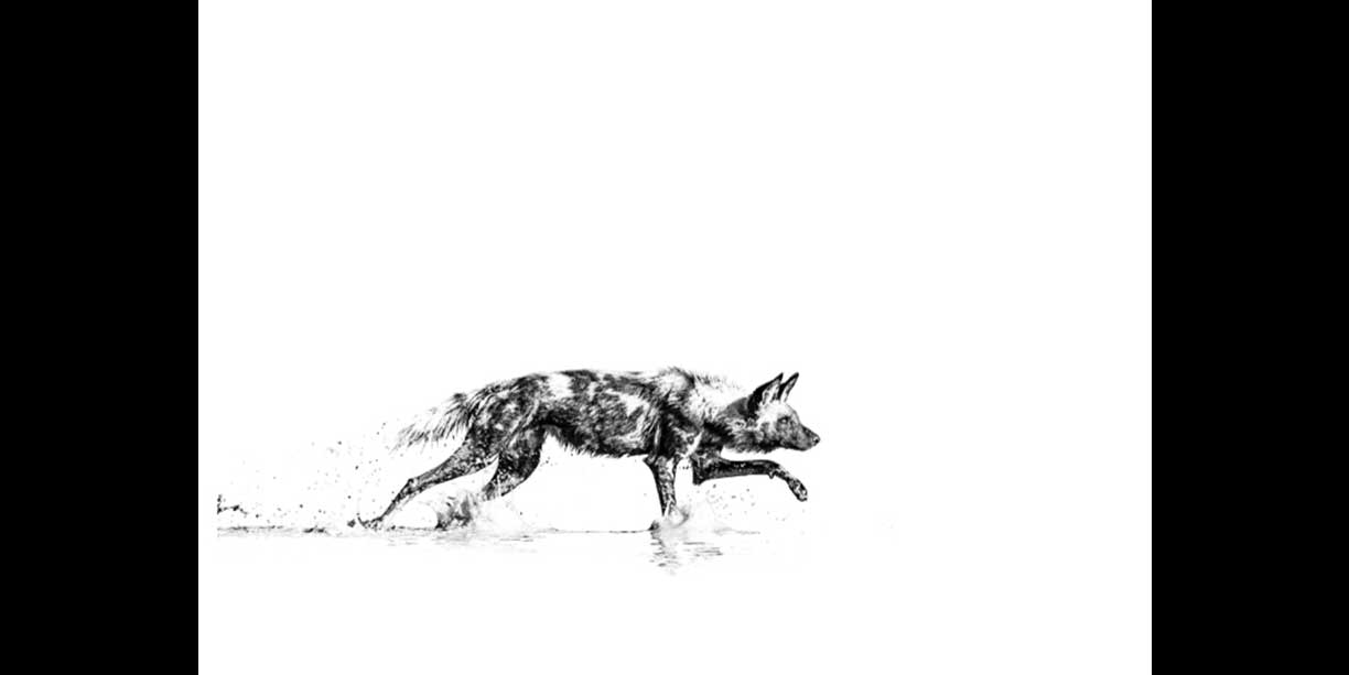 African wild dog stalking in water