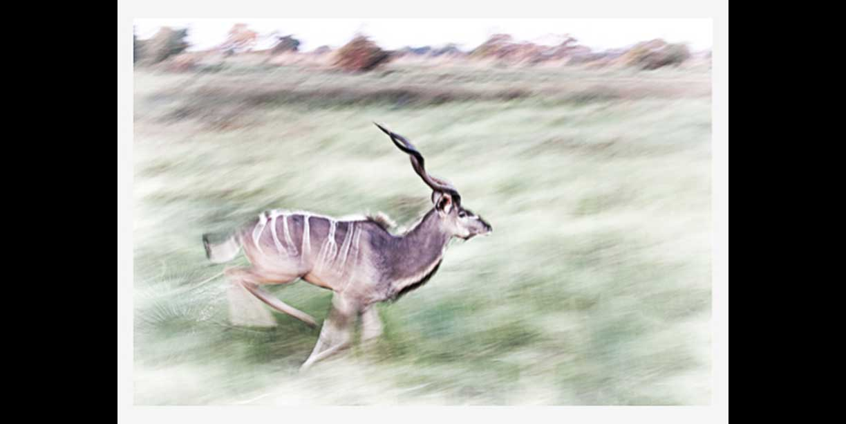 Male Kudu on the run