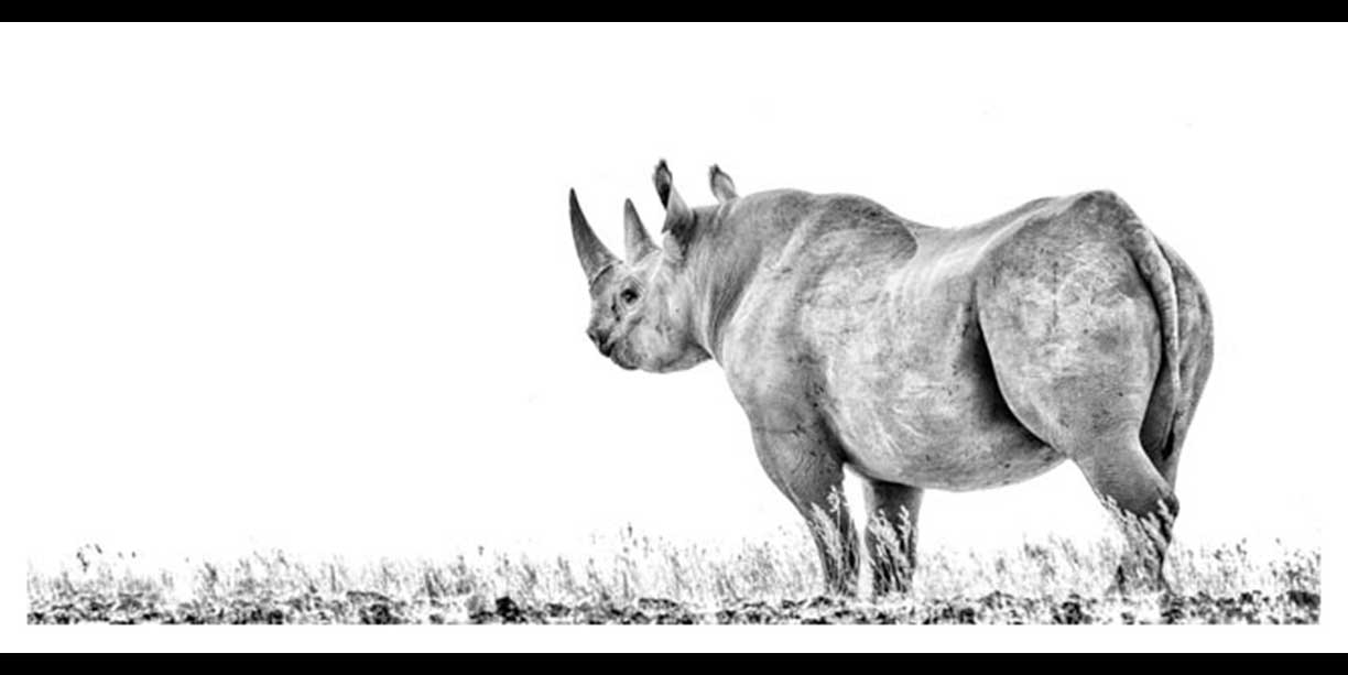 Desert Black rhino panoramic