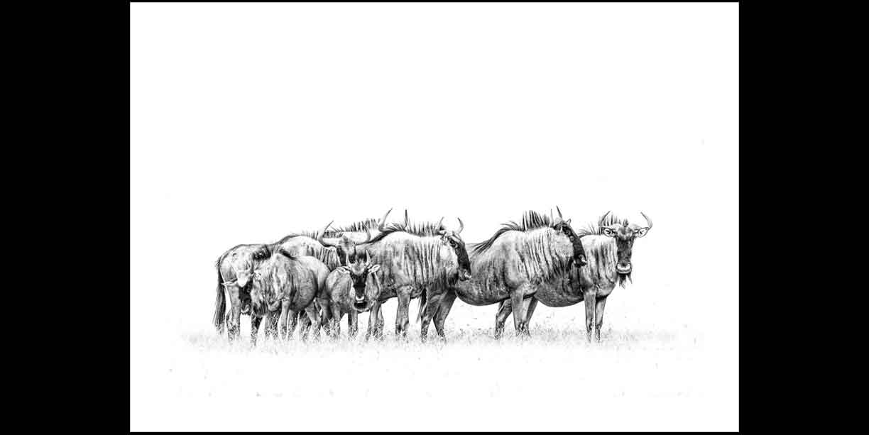 Black and white photographic print of a wildebeest herd
