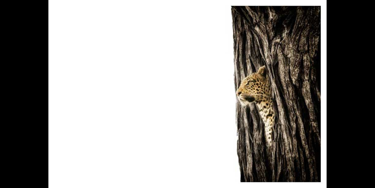Leopard peering from a tree