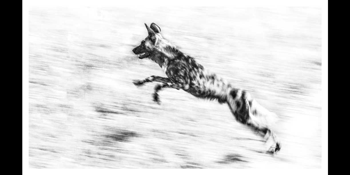 An African Wild dog in full flight