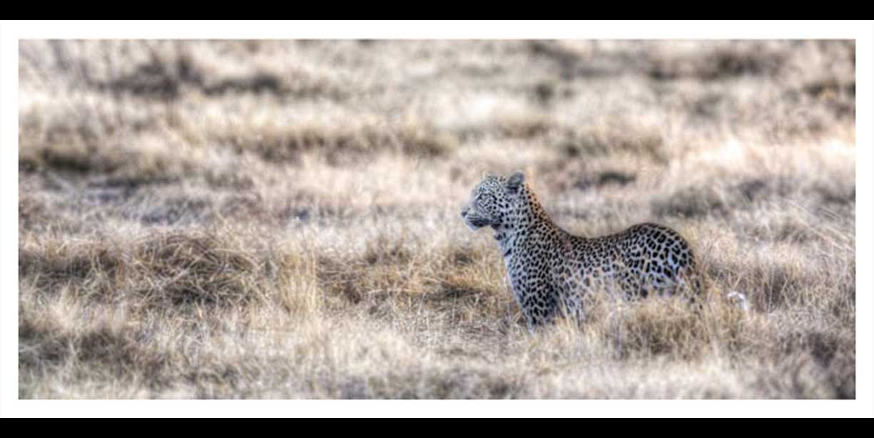 Panoramic image of a Leopard in long grass