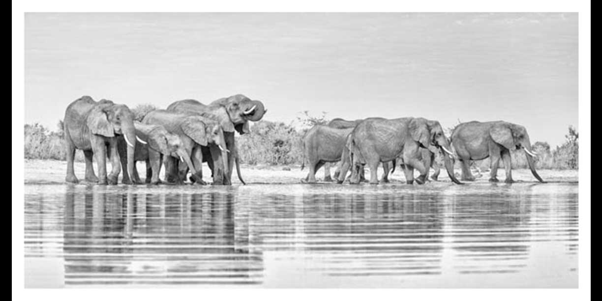 Panorama of elephant herd drinking