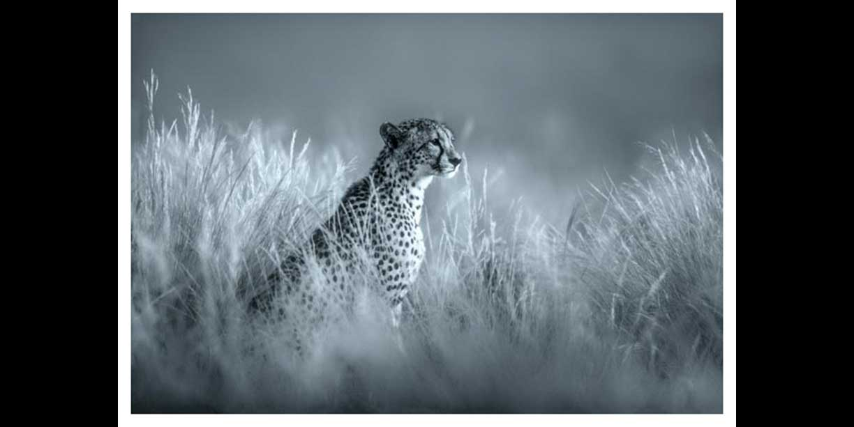 Portrait of a Cheetah in soft grass