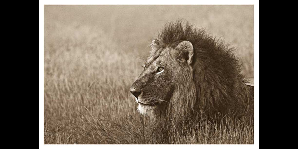 sepia_image_of_male_lion_portrait