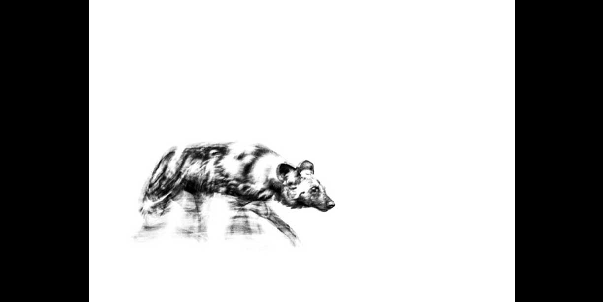 An African wild dog on the move
