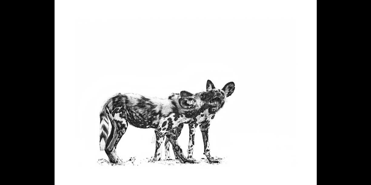 African wild dog pups playing