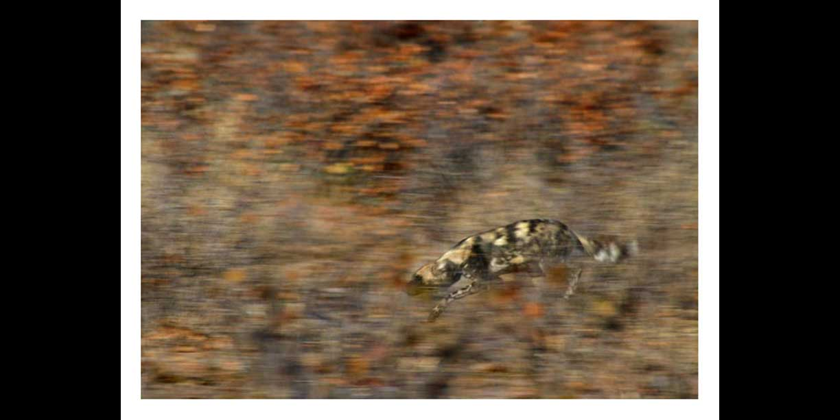 African Wild dog running through mopane