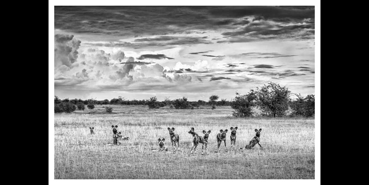 wildlife_image_of_wild_dogs_under_a_summer_sky_in_black_and_white