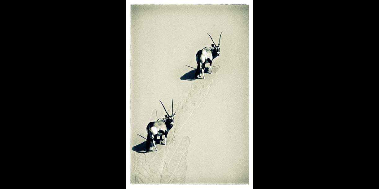 wildlife print of oryx on sand dune