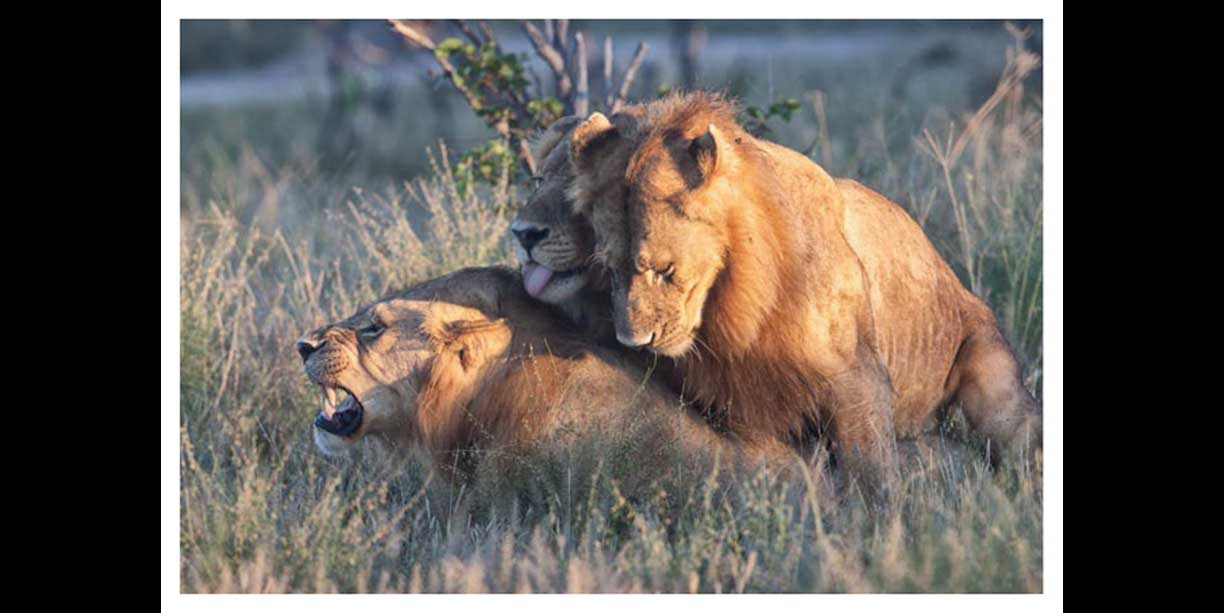 blog post on unusual lion behaviour in gay lions